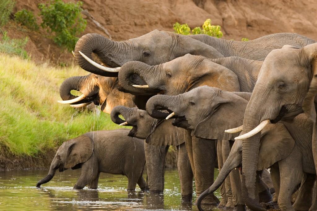 Elephant-Herd-2